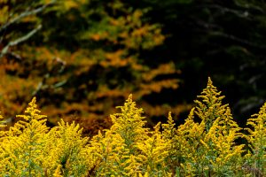 Goldenrod along the Highland Scenic Highway