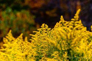 Goldenrod along the Highland Scenic Highway